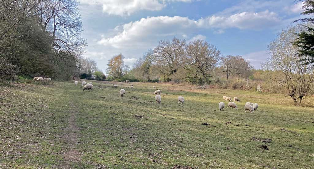 A photo of Sheep on Pastors Hill